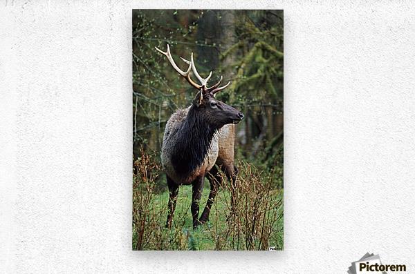 Roosevelt Elk (Cervus Canadensis Roosevelti); Olympic National Park, Washington, Usa  Metal print