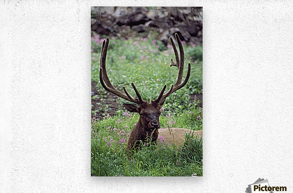 Bull Elk Resting In Alpine Meadow With Antlers In Velvet; Yellowstone National Park, Wyoming, Usa  Metal print