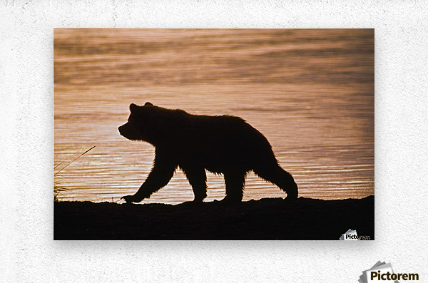 Young Grizzly Bear (Ursus Arctos) Walks Along Edge Of Lake At Sunset  Metal print