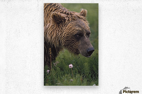 Grizzly Bear Wet From Rain  Metal print
