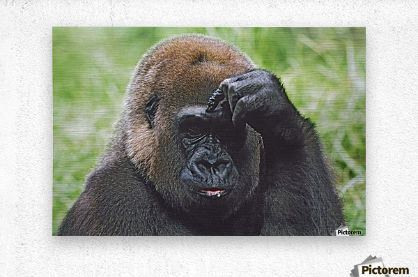 Western Gorilla Portrait With Finger On Brow As If Thinking, Africa  Metal print
