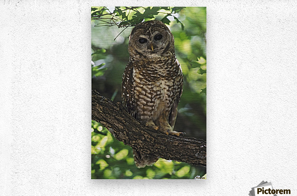Mexican Spotted Owl On Perch In Gambel Oak  Metal print