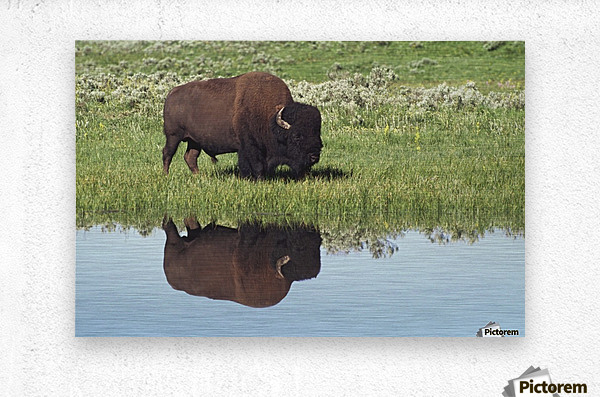 Bison (Bison Bison) On Grassy Meadow With Reflection In Pool  Metal print