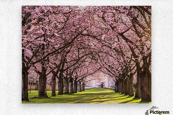 Cherry Blossom in a Park  Metal print