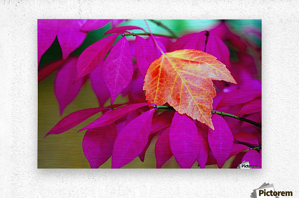 Oregon, United States Of America; A Red Leaf Laying On Bright Pink Leaves  Metal print
