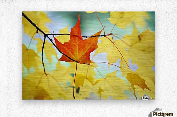 Oregon, United States Of America; An Orange Leaf Fallen On Yellow Leaves  Metal print