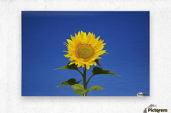 Laval, Quebec, Canada; Sunflower (Helianthus Annuus) Against A Blue Sky  Metal print