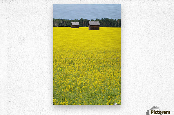 Alberta, Canada; Two Wooden Shacks In A Canola Field  Metal print