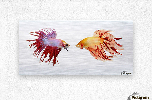 Two Colorful Fish With Long Fins  Metal print