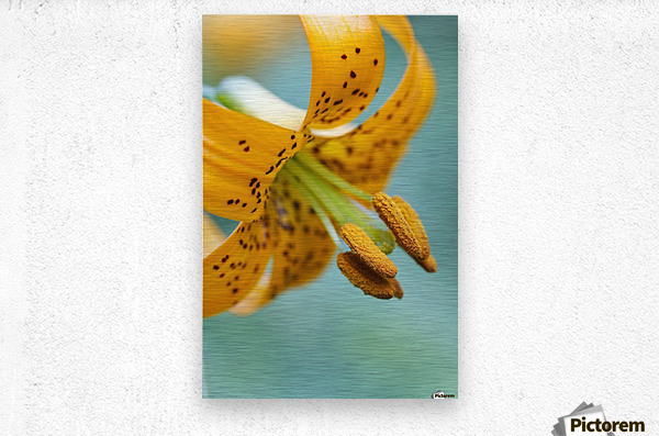 Oregon, United States Of America; A Lily On Mount Hood  Metal print