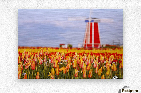 Woodburn, Oregon, United States Of America; A Field Of Tulips And A Windmill At Wooden Shoe Tulip Farm  Metal print