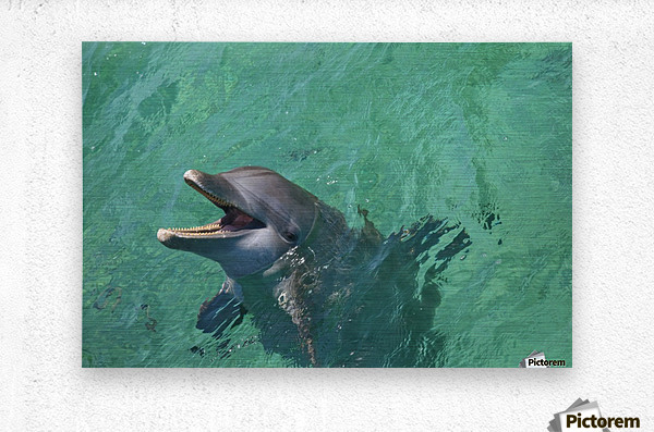 Roatan, Bay Islands, Honduras; Bottlenose Dolphin (Tursiops Truncatus) At Anthony's Key Resort  Metal print
