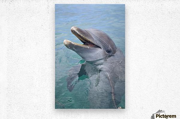 Roatan, Bay Islands, Honduras; A Bottlenose Dolphin (Tursiops Truncatus) In The Water At Anthony's Key Resort  Metal print