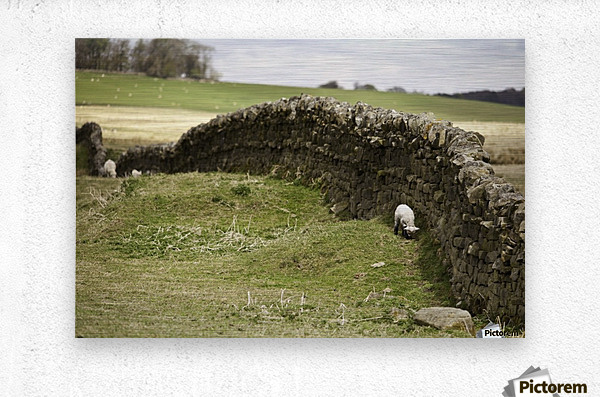 Northumberland, England; Sheep Grazing Along A Stone Wall  Metal print