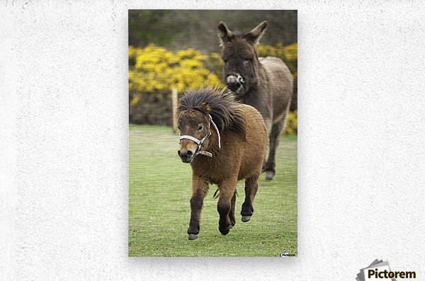 Northumberland, England; Two Ponies Running In A Field  Metal print