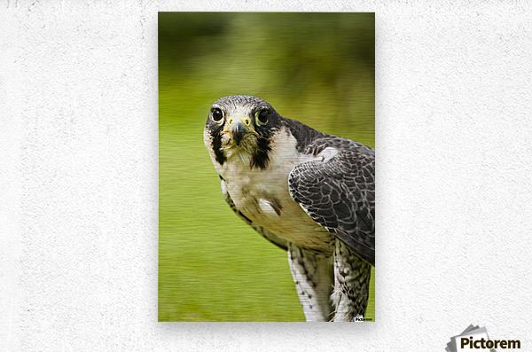 Peregrine Falcon (Falco Peregrinus); Windermere, Cumbria, England  Metal print