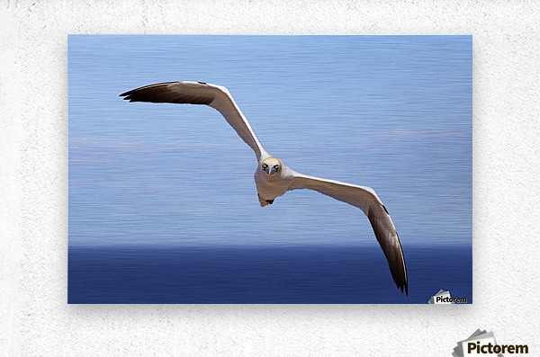 Gannet Flying Over The Water; Perce, Quebec, Canada  Metal print