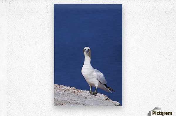 Gannet With An Attitude Staring At The Camera; Perce, Quebec, Canada  Metal print