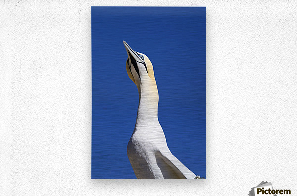 A Single Gannet Searches The Sky For Her Mate On Bonaventure Island; Perce, Quebec, Canada  Metal print