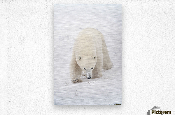 Curious Young Polar Bear (Ursus Maritimus) Exploring; Churchill, Manitoba, Canada  Metal print