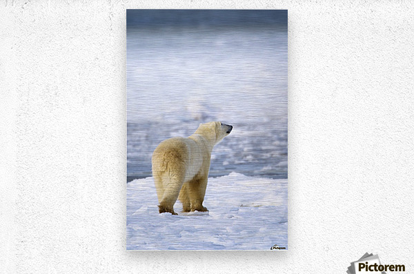 Polar Bear (Ursus Maritimus) Sniffs The Air As He Is On The Hunt For Food; Churchill, Manitoba, Canada  Metal print