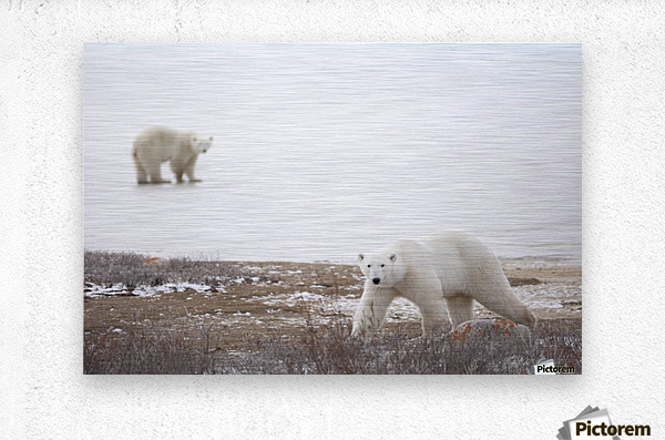 Polar Bears (Ursus Maritimus) Staring Ahead As They Walk Across The Frozen Tundra; Churchill, Manitoba, Canada  Metal print