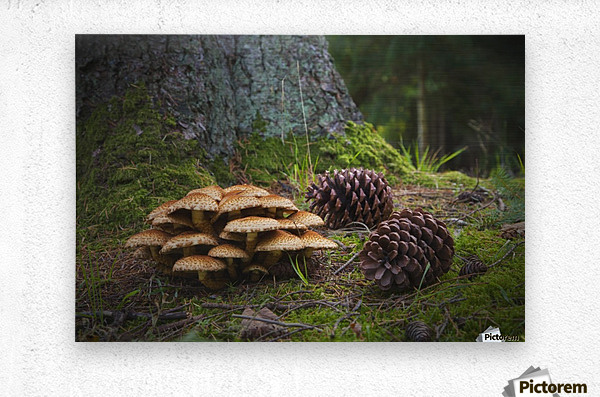Mushrooms And Pine Cones On The Forest Floor; Northumberland, England  Metal print