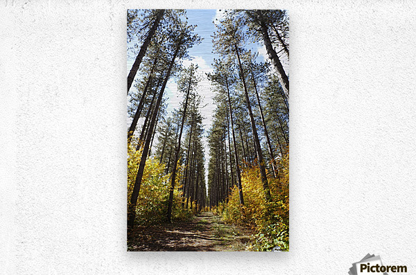 Path Through A Forest In Autumn; Sault St. Marie, Ontario, Canada  Metal print