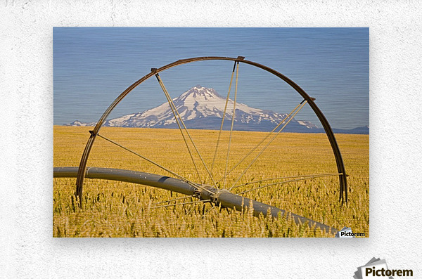 Irrigation Pipe In Wheat Field With Mount Hood In Background; Oregon, Usa  Metal print