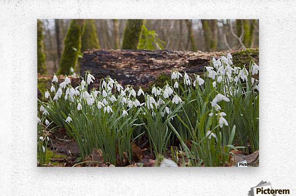 White Flowers Growing On A Forest Floor Beside A Fallen Tree; Dumfries, Scotland  Metal print