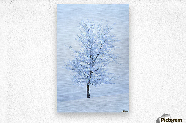 Frost And Snow Cover An Oak Tree; Calgary, Alberta, Canada  Metal print