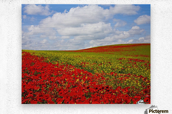 An Abundance Of Red Poppies In A Field; Corbridge, Northumberland, England  Metal print