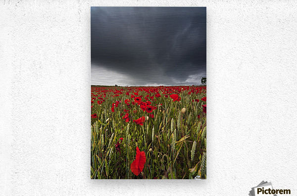 A Field Of Red Poppies Under A Dark Stormy Sky; Northumberland, England  Metal print