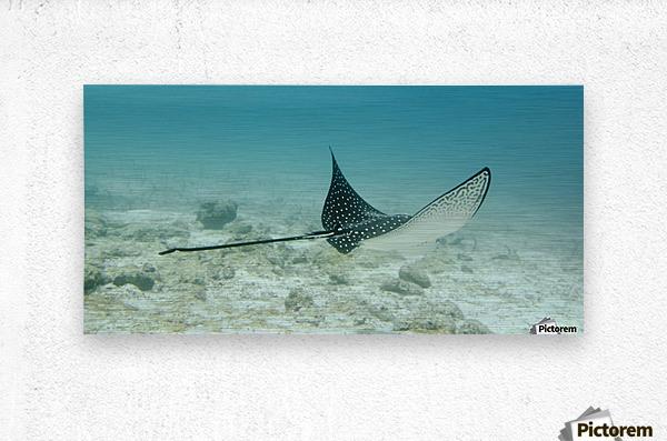 A Spotted Eagle Ray (Aetobatus Narinari)Under The Water; Galapagos, Equador  Metal print
