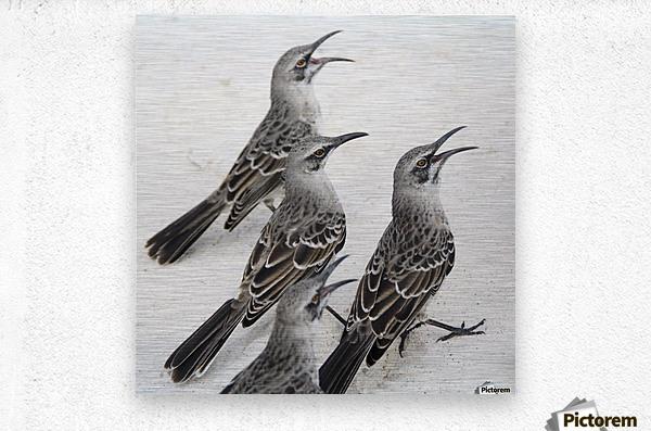 Mockingbirds (Mimidae); Galapagos, Equador  Metal print