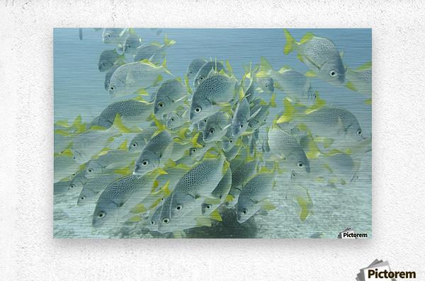 Yellow-Tailed Grunt Fish (Anisotremus Interruptus); Galapagos, Equador  Metal print