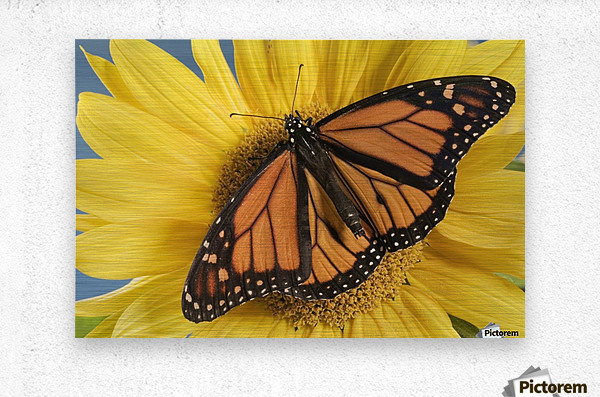 Monarch Butterfly On Sunflower.  Metal print