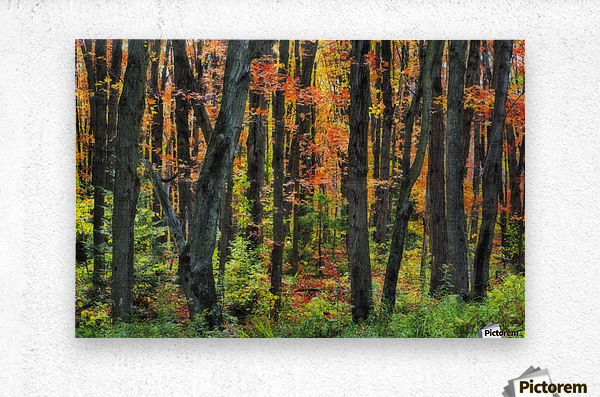 Autumn Sugar Maple, Yellow Birch And Balsam Firtrees. Algonquin Provincial Park, Ontario. Canada.  Metal print