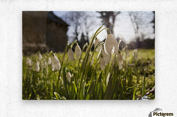Snowdrop Flowers In The Sunlight; Northumberland, England  Metal print