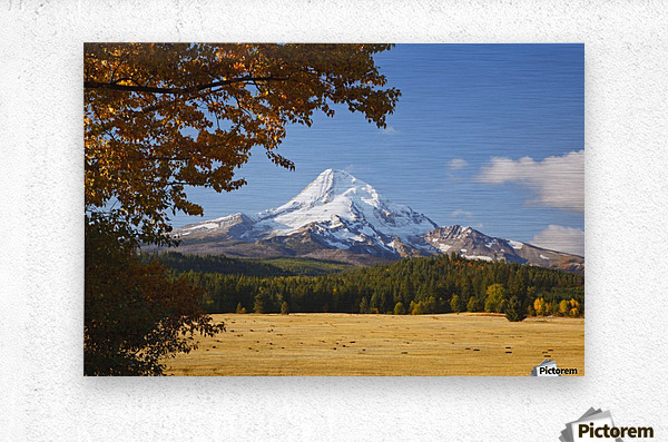 Mount Hood And Autumn Colours In Hood River Valley; Oregon, United States of America  Metal print
