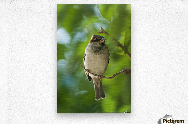 A Sparrow Perched On A Small Branch; Tarifa, Cadiz, Andalusia, Spain  Metal print