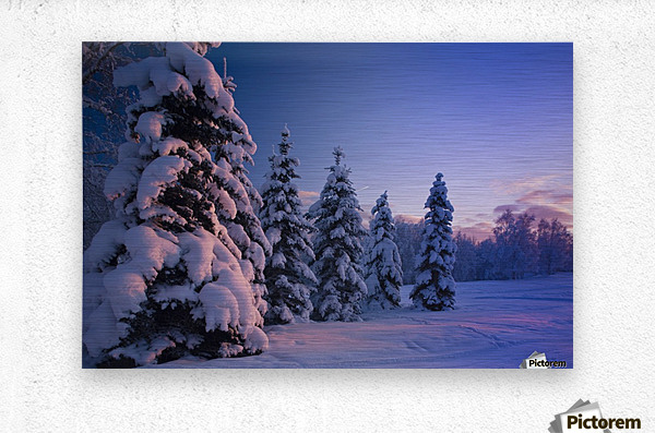 Snow Covered Spruce Trees At Sunset With Pink Alpenglow During Winter, Russian Jack Park, Anchorage, Southcentral Alaska, Usa.  Metal print