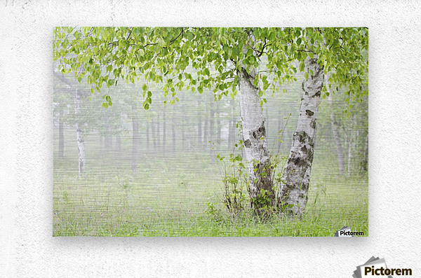 Birch trees in fog;Thunder bay ontario canada  Metal print