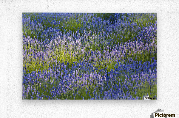Rows of lavender plants in a field in the cowichan valley;Vancouver island british columbia canada  Metal print