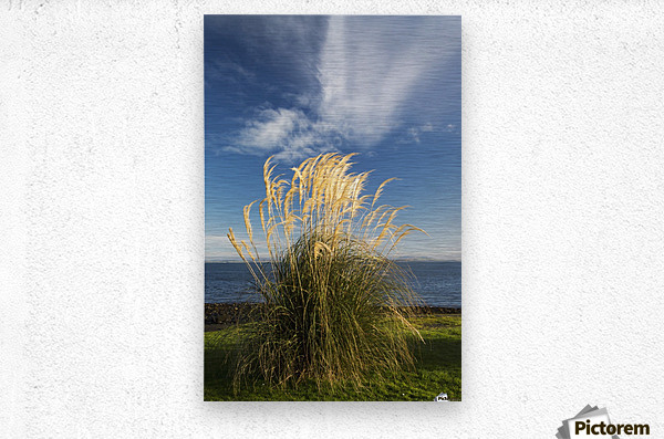 Tall grasses growing at the water's edge;Dumfries and galloway scotland  Metal print