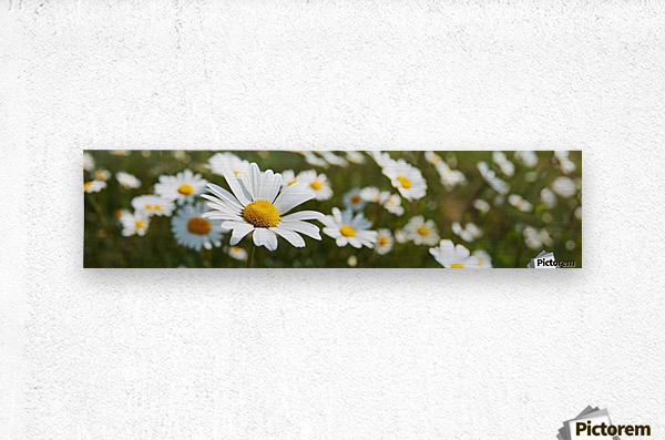 Close up of daisies in a meadow;England  Metal print
