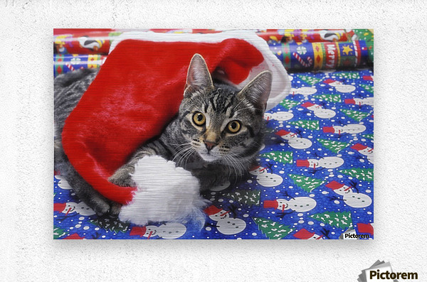 Grey tabby cat with santa claus hat lying on christmas gift wrap;Vancouver british columbia canada  Metal print