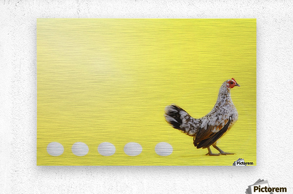 Hen standing in line with five eggs;British columbia canada  Metal print
