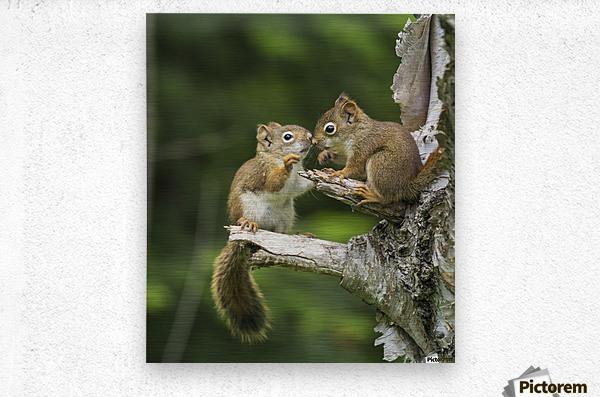 Two Red Squirrels (Sciurus Vulgaris) Playing In A Tree; Ontario, Canada  Metal print