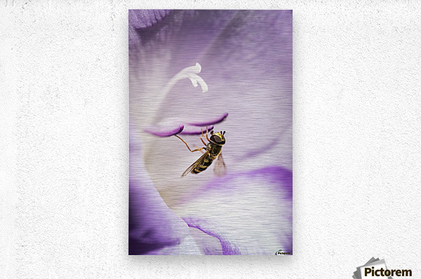 A Hoverfly Visits A Gladiolus Blossom; Astoria, Oregon, United States Of America  Metal print